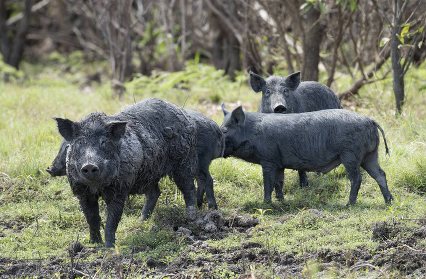 Feral pigs in the Northern Territory