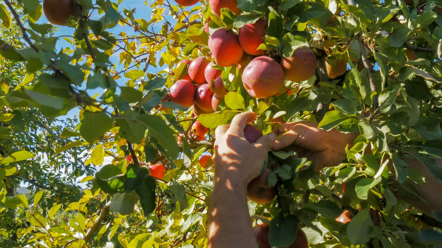 an orchard worker picks ripe red apples from a tree in huonville, tasmania